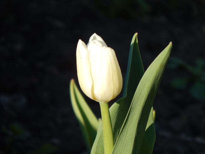 Tulip - StrawBerry