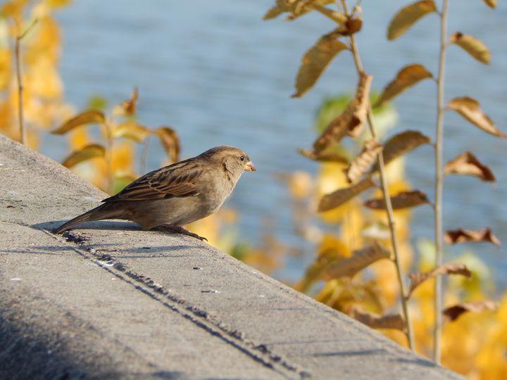 Sparrow - StrawBerry