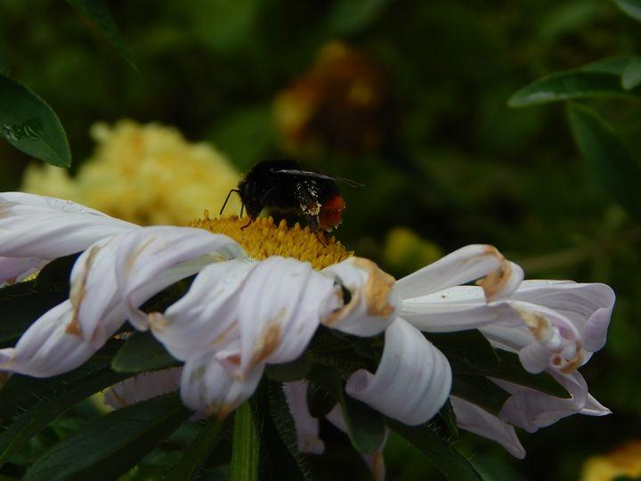 Bumblebee - StrawBerry