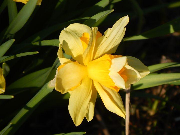 Narcissus - StrawBerry
