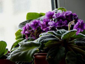 Violet - StrawBerry