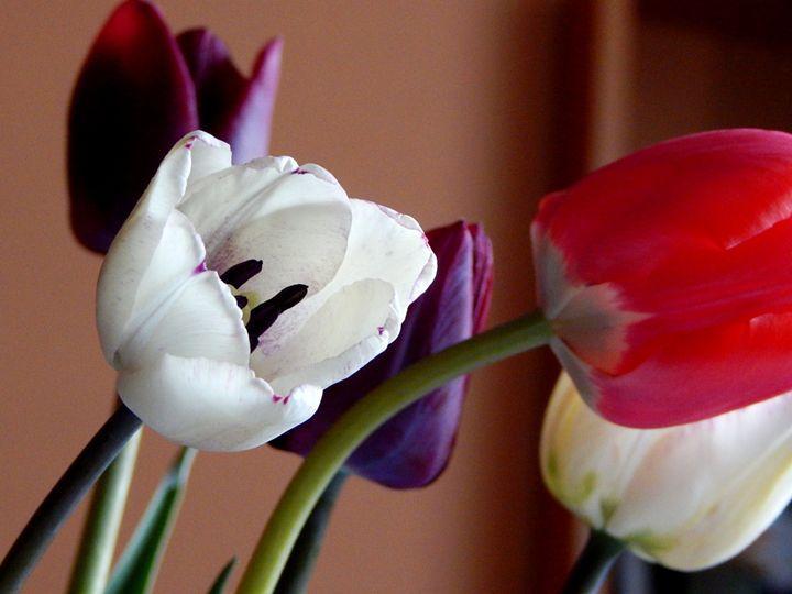Tulips - StrawBerry