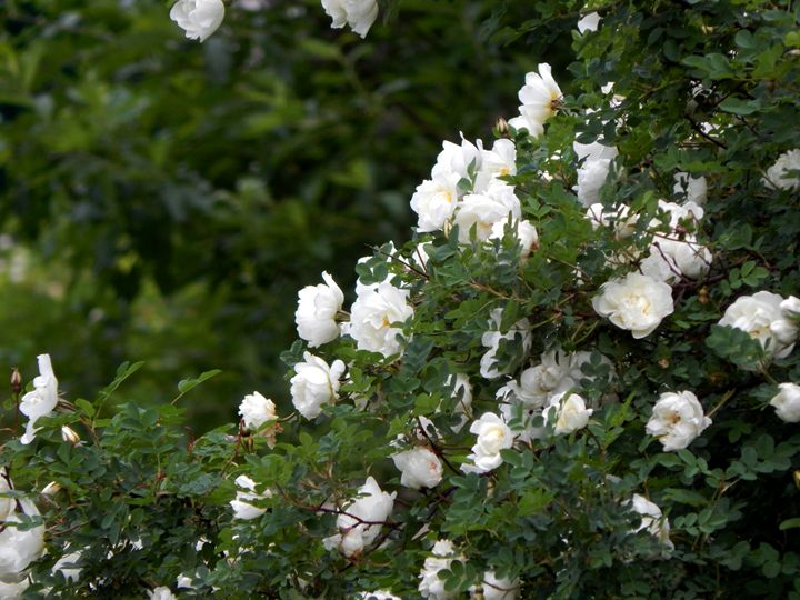 Dog-rose - StrawBerry