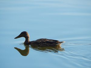 Duck - StrawBerry
