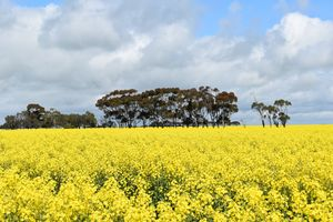 Canola Fields in Foxhow