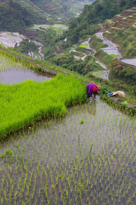 The Lady Farmer at Banaue Terraces - mijodo asian gallery