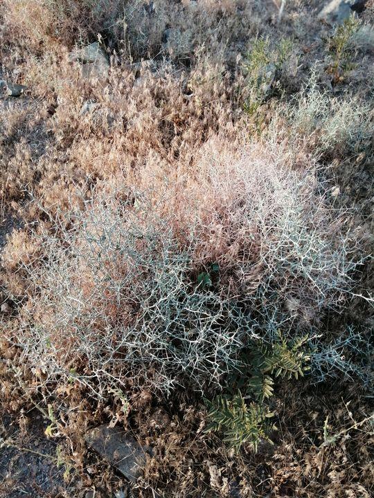 thorns of the desert - Naghmo