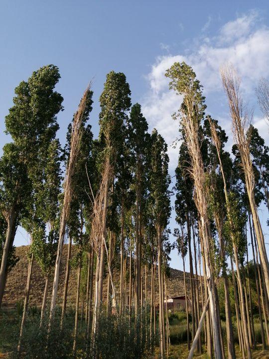 Tall trees - Naghmo