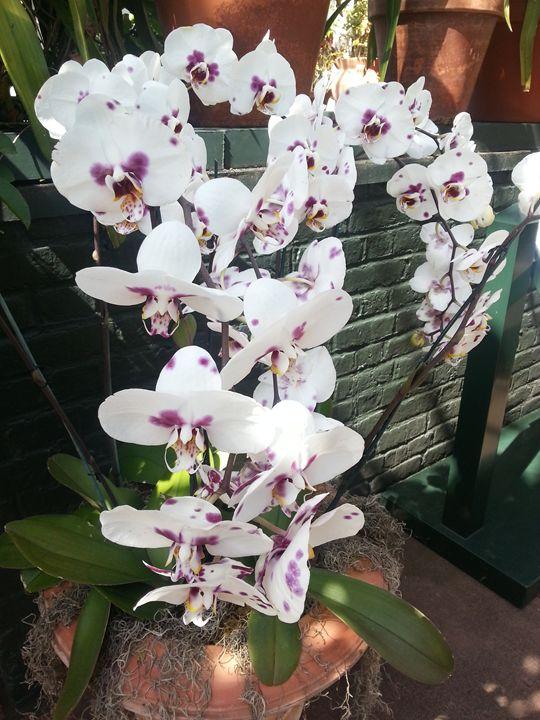Orchid - BHUMIKA PANT