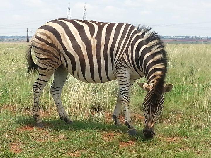 Zebra Grazing - EsmeraldaEnslin