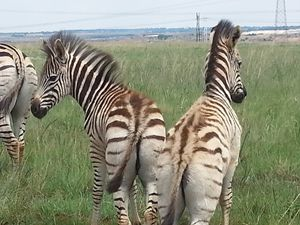 Zebras - EsmeraldaEnslin