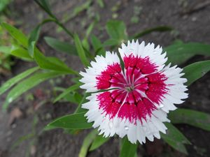 Pink and White Dianthus