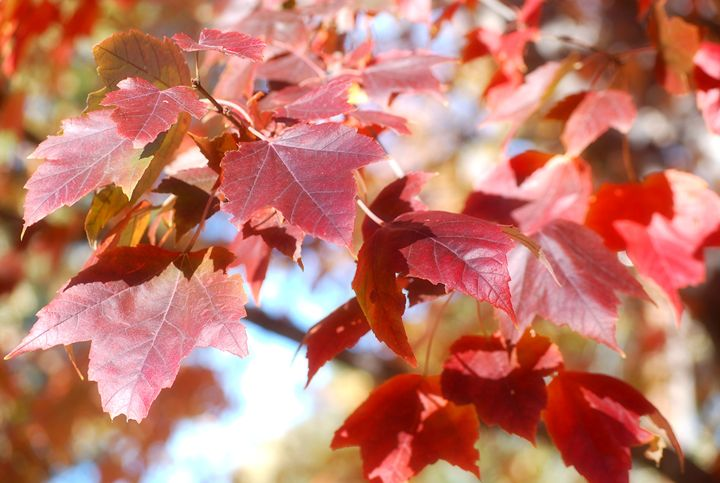 Red Maple Fall Leaves - Mikayla Smith Photography