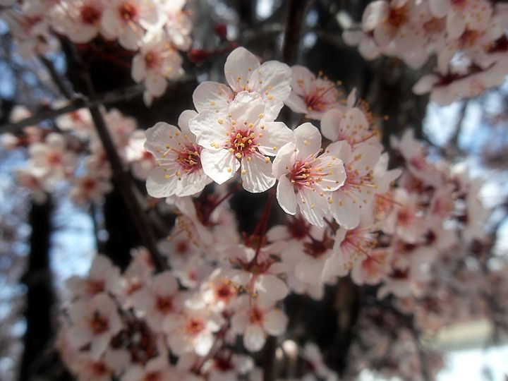 Cherry Blossom - Mikayla Smith Photography