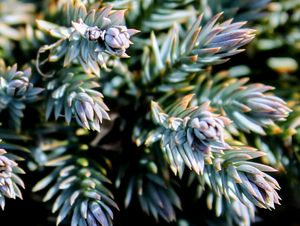 Beautiful Blue Star Juniper
