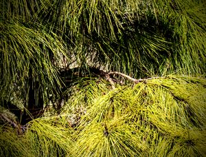 Prickly Pine