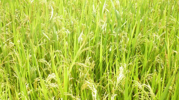 VN item - rice arista - Jena Truong