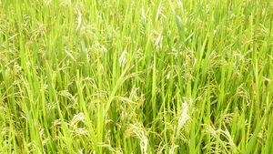 VN item - rice arista