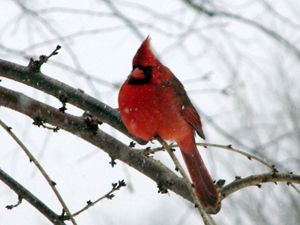 Cardinal King in Winter