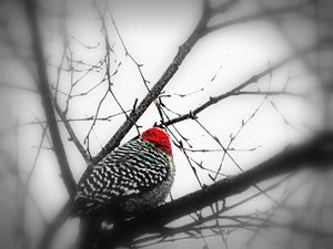 Woodpecker in Winter