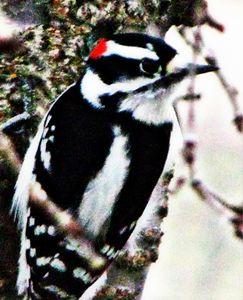 Woodpecker Impression