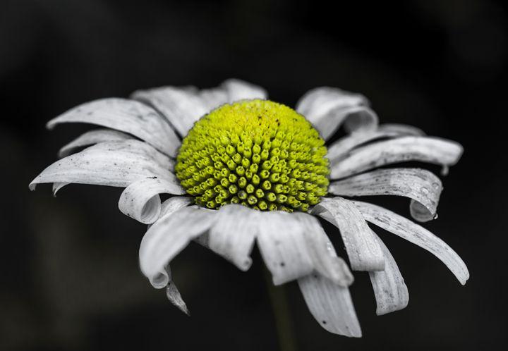 Daisy Flower - Hohler Studio