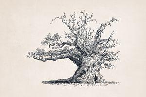 Tree Sketch #56 Ancient Oak Tree