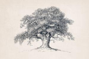 Tree Sketch #57 Spring Oak Tree