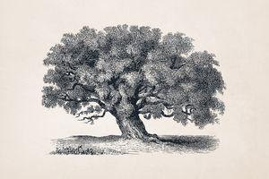 Tree Sketch #58 Tamarind Tree