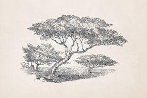 Tree Sketch #59 Acacia Tree