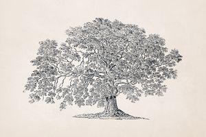 Tree Sketch #60 Ash Fraxinus Tree