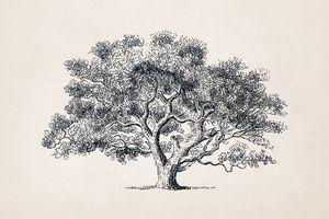 Tree Sketch #61 Young Oak Tree