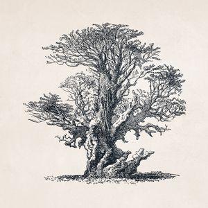 Tree Sketch #107 Ancient Oak Tree
