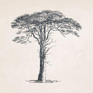 Tree Sketch #108 Umbrella Pine Tree