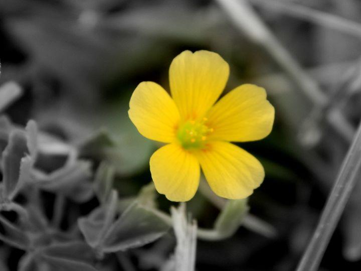 Yellow Wildflower - Chris Close Photography