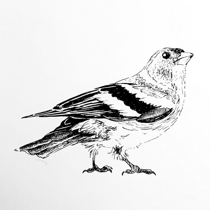 Chaffinch Drawing - Drawings by Tara Lucy