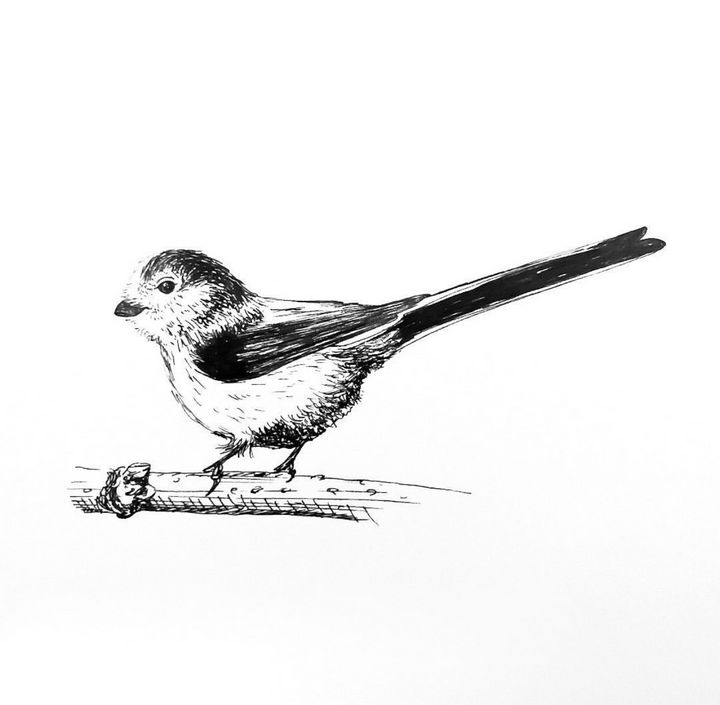 Long-Tailed Tit Drawing - Drawings by Tara Lucy