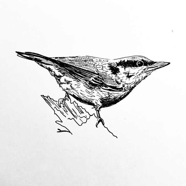 Nutfinch Drawing - Drawings by Tara Lucy