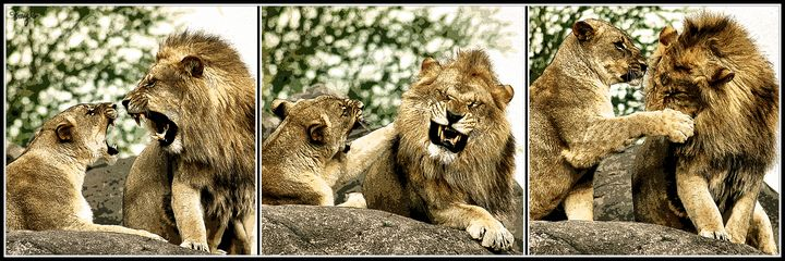 African Lions 03 Triptych - AliceAnny's Photos