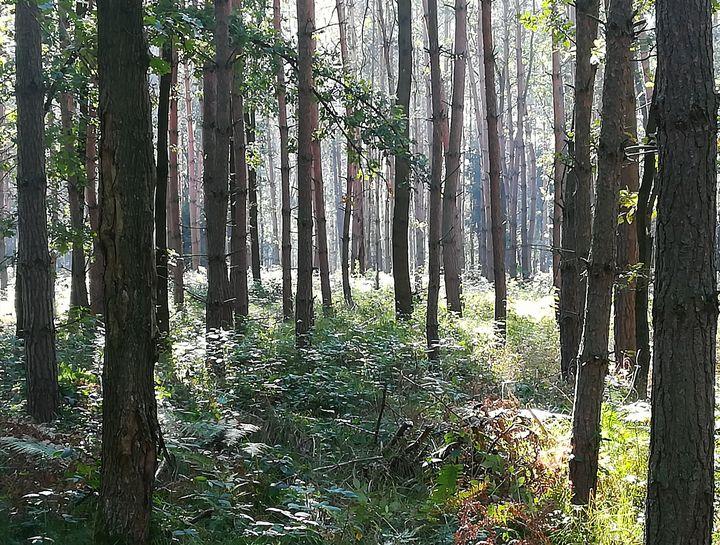 Forest - Agata