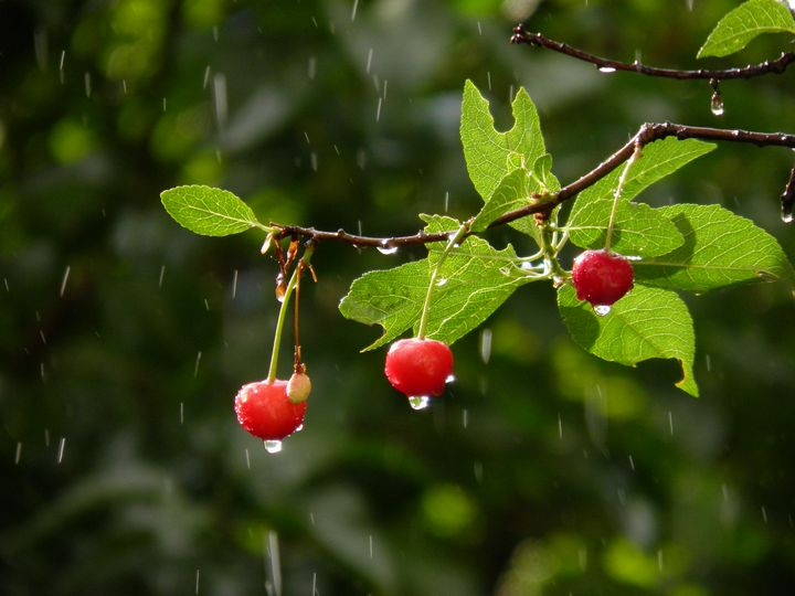cherry - Agata