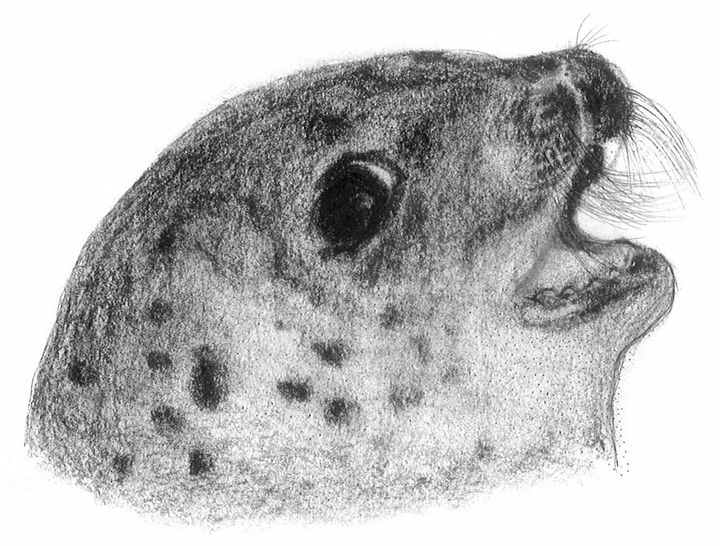 Baby Seal - Karu Design