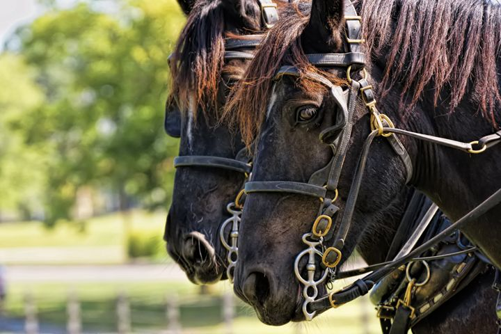 Draft Horses - Ad Astra Images