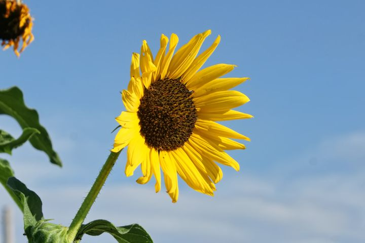 Sunflower - Ad Astra Images