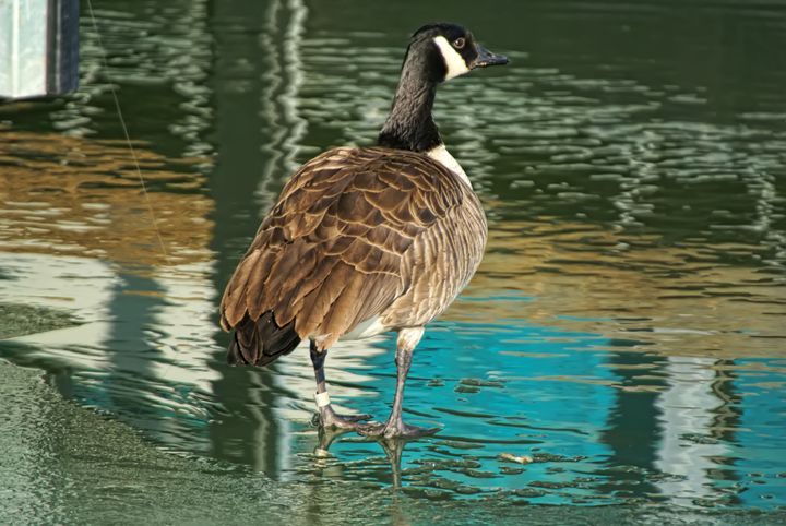 Canadian Goose - Ad Astra Images