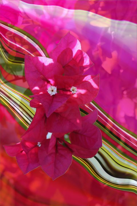 The Spirit of Bougainvillea - Intuography