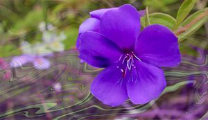 The Spirit of Tibouchina