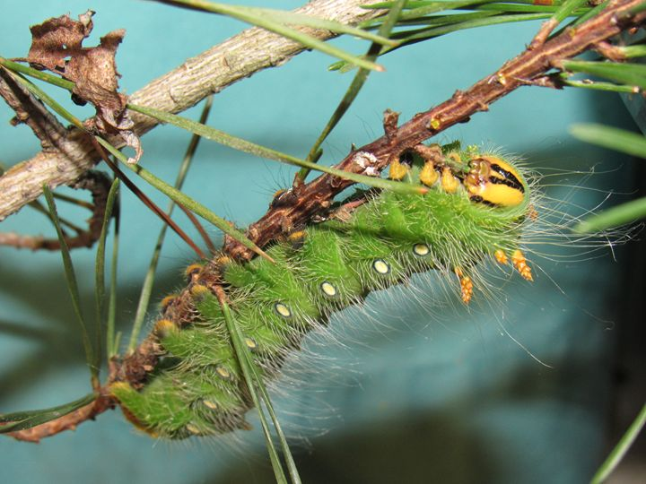 Imperial Moth Caterpillar - Tonia Delozier's Photography