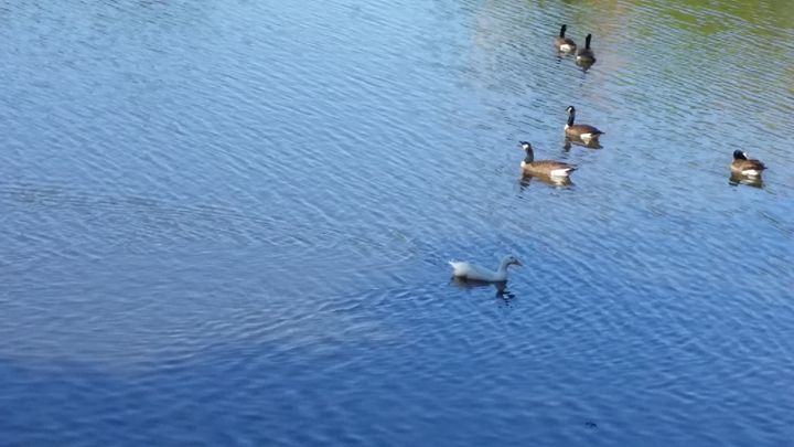 ducks on the pond - AMATEUR PHOTOS