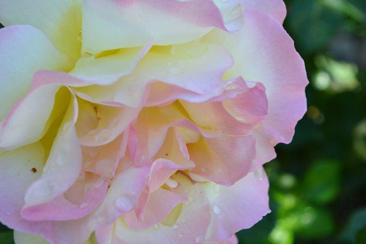 pink rose - kerrieficklin